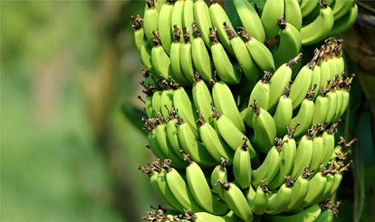 Photo of Bunches of Bananas